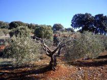 130213 olivos y aceite 3