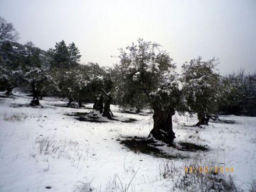 140221 olivos nieve 1