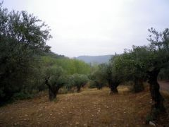 141029 olivo 1
