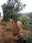 141029 olivo 3