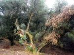 141029 olivo 4