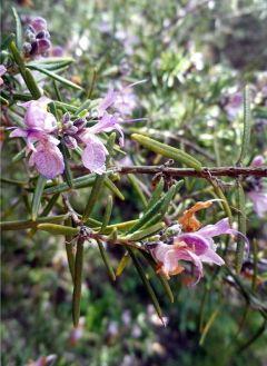 150319 2 flor enebro 1