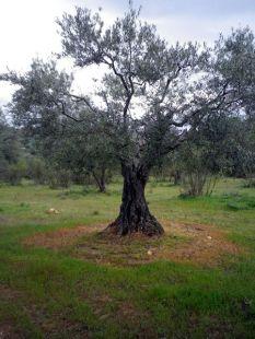 150605 sobre olivos 2