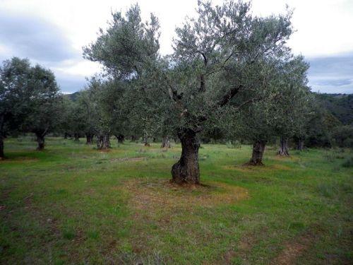 150605 sobre olivos 3