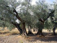 151120 olivos 1