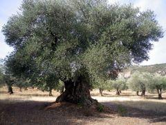 151120 olivos 2