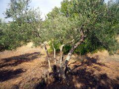151120 olivos 3