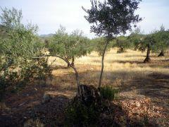 151120 olivos 4