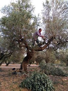 161230-el-olivo-que